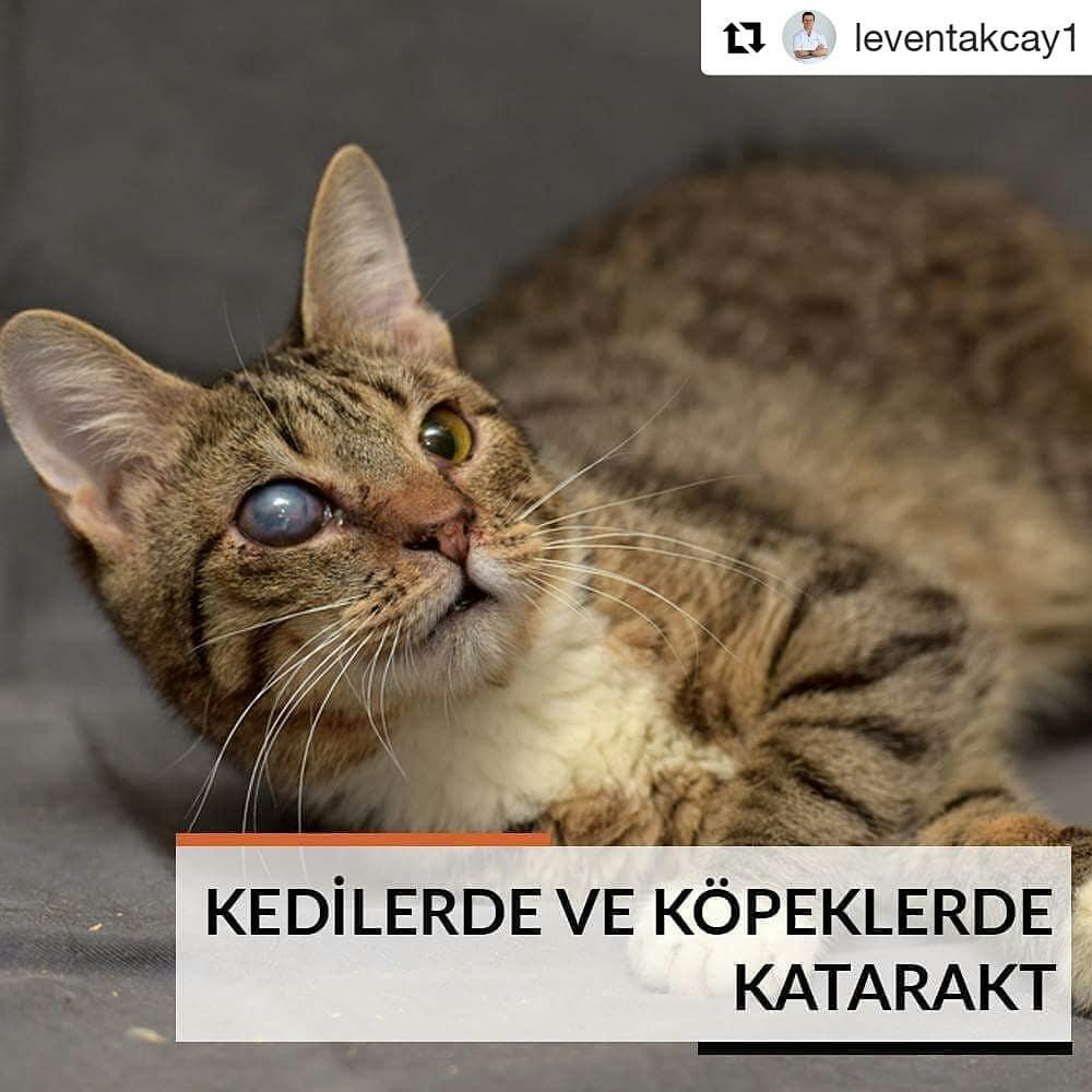 #Repost @leventakcay1 (@get_repost) ・・・ Katarakt yalnızca bizim değil, sevimli dostlarımızın da büyük bir problemi. Kedi ve köpeklerimizin nesnelere çarpması, yürümede zorlanması, gözlerinin sulanması gibi problemlere yol açan kataraktın belirtilerini fark ettiğinizde veterinerinize başvurunuz. Veterineriniz kedi veya köpeğinize katarakt teşhisi koyduğunda bu sorunun altındaki nedeni de tedavi etmek için çalışacaktır. #göz #gözestetiği #gözsağlığı #oküloplasti #keratokonus #şalazyon #gözyaşıkanaltıkanıklığı #gözçevresi #estetik #lasik #ilask #toriklens #katarakt #leventakçay #dünyagöz #dünyagözaltunizade